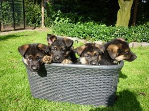 Duitse herder puppy's uit Goor, Hof van Twente